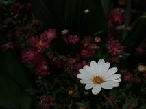 White and beuty Bellis perennis with Chrysanthemum stock photos