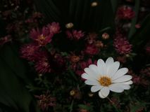White and beuty Bellis perennis with Chrysanthemum stock photography