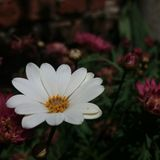 White and beuty Bellis perennis with Chrysanthemum stock photo