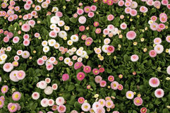 Bellis Perennis, Daisies Royalty Free Stock Photography