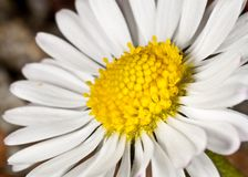 Bellis Perennis, Daisy Flower Royalty Free Stock Images