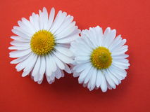 Bellis perennis Stock Photo