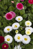 Bellis perennis daisy in the garden Stock Photography