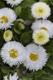 Bellis perennis daisy in the garden Royalty Free Stock Photography