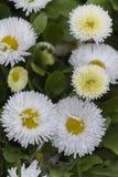 Bellis perennis daisy in the garden. A bellis perennis daisy in the garden Royalty Free Stock Photography