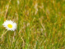 Bellis perennis - A daisy on the grass on springtime Royalty Free Stock Images