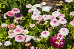 Bellis perennis daisy Royalty Free Stock Images