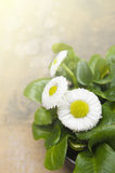 Bellis perennis,daisy in sunlight Stock Image