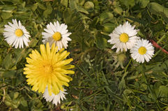 Bellis perennis with dandelion Royalty Free Stock Images