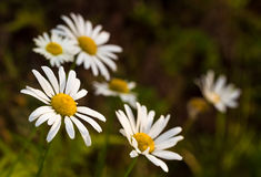 Bellis perennis, dasies. Bellis perennis is a common European species of daisy, of the Asteraceae family, often considered the archetypal species of that name Royalty Free Stock Image