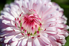 Bellis perennis flower in garden Royalty Free Stock Photos