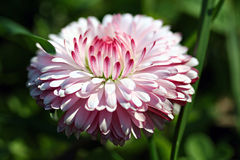 Bellis perennis flower in garden Stock Images
