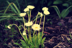 Bellis perennis flower in garden Royalty Free Stock Photo