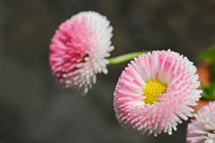 Bellis Perennis flower. Pink daisy like flower, Bellis Perennis, against a gray blurred background Royalty Free Stock Photos