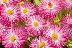 Bellis Perennis Flowers. Bellis Perennis - Habanera White with Red Tips Royalty Free Stock Photo
