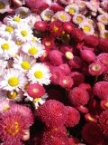 Bellis perennis flowers. Red, white and pink bellis perennis flowers in the sunlight Stock Image