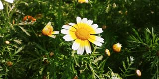 Bellis perennis flowers. White bellis perennis flowers Stock Images