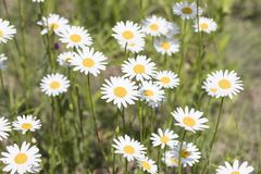 Bellis perennis, grass full of white and yellow daisy flowers du. Ring spring composition stock photo