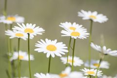 Bellis perennis, grass full of white and yellow daisy flowers du. Ring spring composition stock images