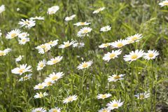 Bellis perennis, grass full of white and yellow daisy flowers du. Ring spring composition royalty free stock photography