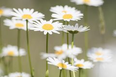 Bellis perennis, grass full of white and yellow daisy flowers du. Ring spring composition royalty free stock photo