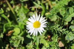 Bellis Perennis with grass. Bellis Perennis with green grass Stock Images