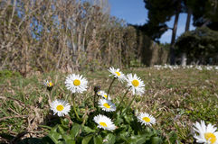 Bellis perennis Stock Images