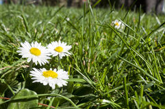 Bellis perennis. Growing on grass. It is a common European species of daisy Stock Images