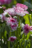 Bellis perennis habanera in the garden Stock Images