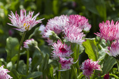 Bellis perennis habanera in the garden Stock Photos