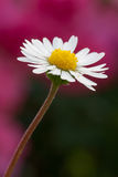 Bellis perennis Royalty Free Stock Images