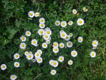 Bellis perennis. Many little nice daisies in the grass Royalty Free Stock Photography