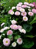 Bellis perennis at meadow. Natural pink bellis perennis at meadow in greenery Stock Photo