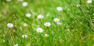 Bellis perennis Royalty Free Stock Photos