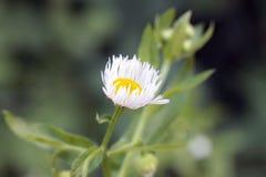 Bellis perennis. Medicinal daisies,Latin name Bellis perennis Royalty Free Stock Photo