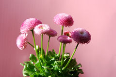 Bellis perennis. Pink double daisy (bellis perennis) in spring Stock Photography