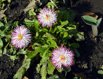 Bellis perennis Pomponette flowers Royalty Free Stock Photo