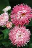 Bellis perennis Pomponette Pnk Stock Photography