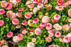 Bellis perennis Pomponnete, cultivated hybrid specie of the english daisy flower, popular ornamental garden flowers, nature. A Bellis perennis Pomponnete royalty free stock image