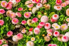 Bellis perennis Pomponnete, kultywujący hybrydowy specie angielski stokrotka kwiat, popularny ornamentacyjny ogród kwitną, natura obraz royalty free