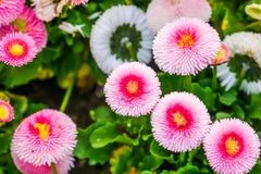 Bellis perennis pomponnete in macro closeup, colorful flowers in closeup, Cultivated hybrid specie of the english daisy flower,. A Bellis perennis pomponnete in royalty free stock images