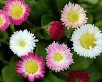 Colorful Daisy Flowers in Bloom. Closeup of Bellis perennis Rominette flowers in mixed colours of white, pink, rose and red isolated against background of Stock Photo
