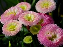 Bellis perennis. Some bellis perennis in spring Stock Images