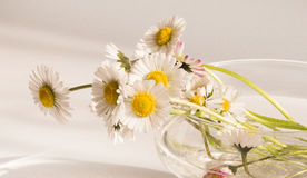 Bellis perennis, spring bouquet of flowers. White bellis perennis, bouquet of flowers Royalty Free Stock Images