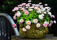 Bellis perennis in stone pot Stock Photos
