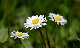 Bellis perennis white daisies between green herb. Bellis perennis white daisies between grass. Bellis perennis is a common European species of daisy, of the stock image