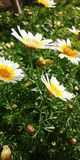 Bellis perennis. White bellis perennis flowers Royalty Free Stock Image