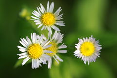 Bellis perennis Royalty Free Stock Photo