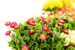 Bellis potted plant spring flower Stock Image