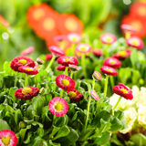 Bellis red potted spring flowers. Bellis daisy red potted spring flowers Stock Images